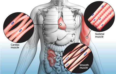 انواع عضلات